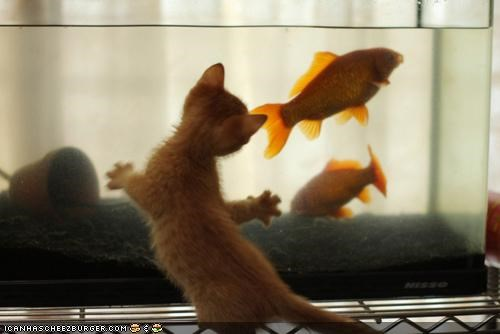 cyoot kitteh of teh day fish fish tank food hungry nomz want water - 5391491328