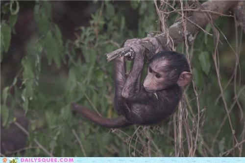 Babies baboon baboons baby contest poll squee spree tamarin tamarins - 5391907840