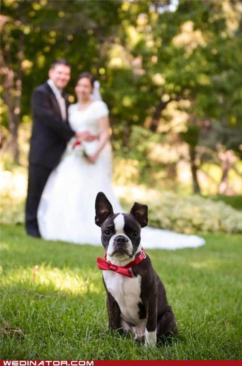 bride,dogs,funny wedding photos,groom