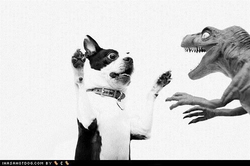 attack,Battle,boston terrier,dont-mess-with-me,velociraptor