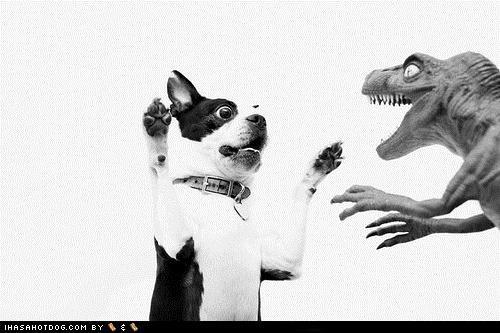 attack Battle boston terrier - 5394911744
