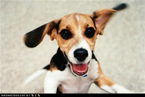 awesome beagle happy happy dog puppy smile smiles smiling yay - 5395422208