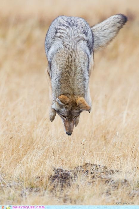 acting like animals airbags bad idea bracing concerned coyote FAIL hoping hunting impact jumping mistake nose nose-first pounce pouncing worried - 5396267008