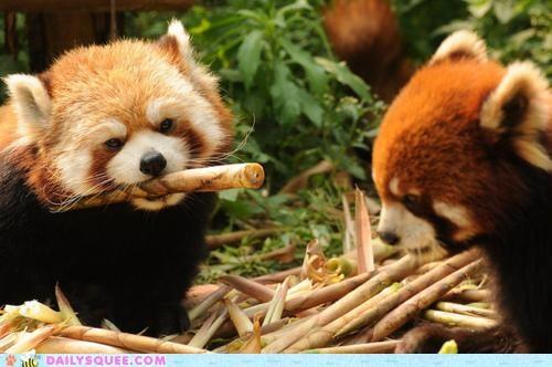 holding,lolwut,meme,red panda,red pandas,stick