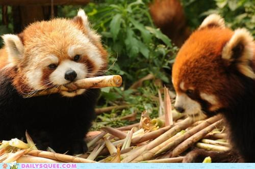 holding lolwut meme red panda red pandas stick - 5396341760