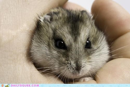 baby dwarf hamster hamster hand handheld holding itty bitty tiny