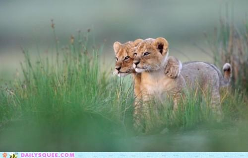 adorable arm Babies baby clumsy cub cubs endearing flirting Hall of Fame holding lion lions not romance shoulder subtle subtlety - 5396373248