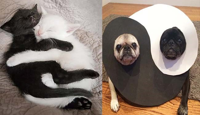 lolcats dogs yin and yang cute Cats funny - 5402117