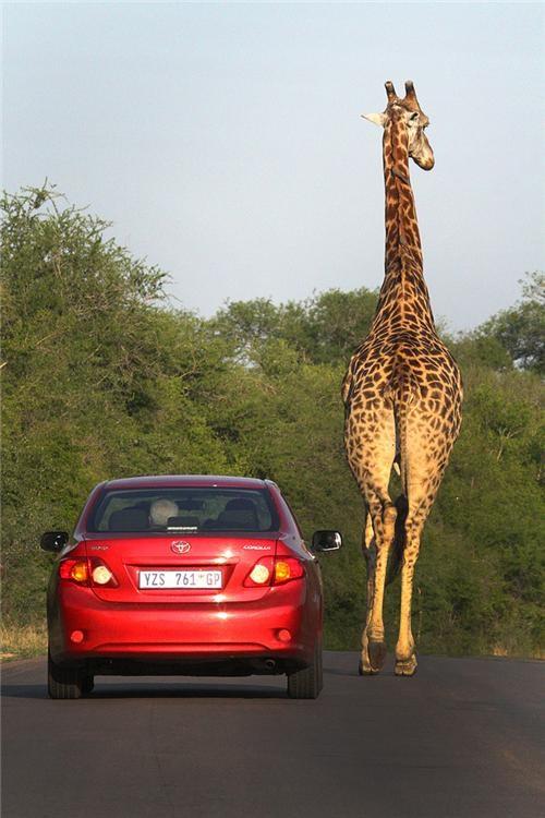 africa african safari animals awesome getaways giraffes wild animal - 5402367232