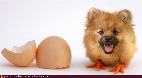 chick egg hatch pomerarian wtf - 5403771392