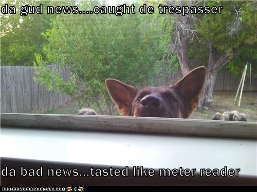 bad dog bad news bite german shepherd good news meter reader mixed breed naughty dog oops peek peeking trespasser whatbreed - 5406087424