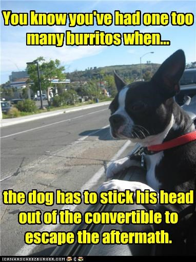 boston terrier car convertible fart gross smells smells bad smelly stinks stinky yuck