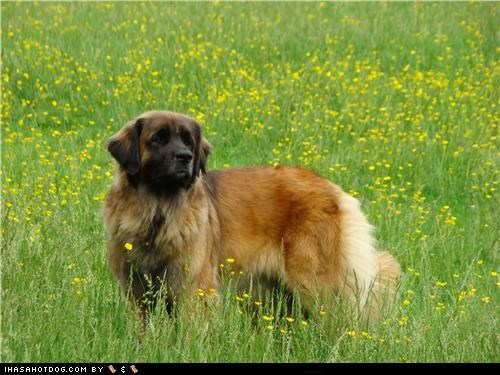 field,flowers,goggie ob teh week,leonberger,outdoors,squirrel