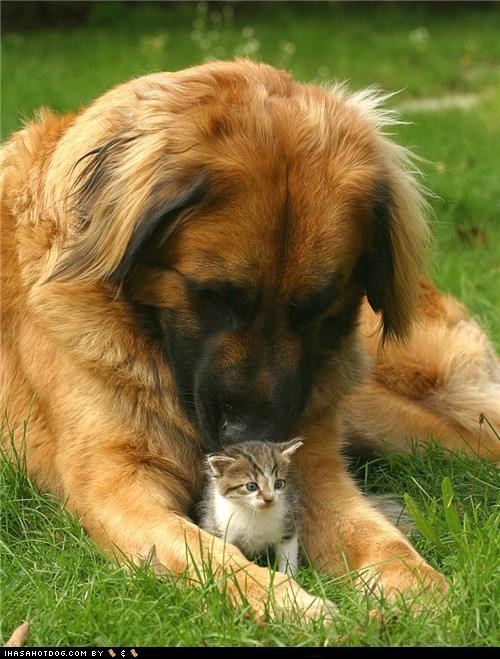adorbz,friends,friendship,goggie ob teh week,grass,kitten,leonberger,love,outdoors,protector