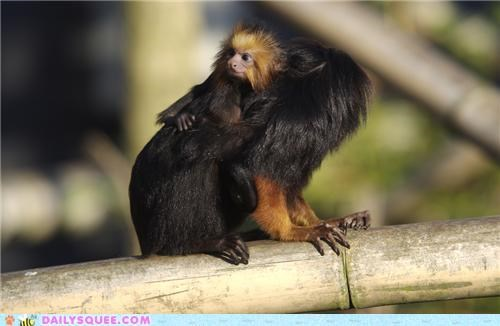 activities,cuddling,hanging,identical,mother,relaxing,riding,sameness,squee spree,tamarin,tamarins
