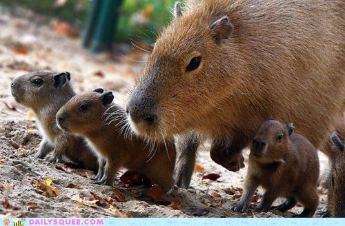 Babies,baby,caboodle,capybara,capybaras,collective,group,Hall of Fame,mother,term