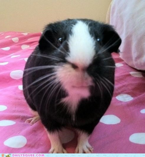 carrots guinea pig love noms polka dots reader squees style stylish