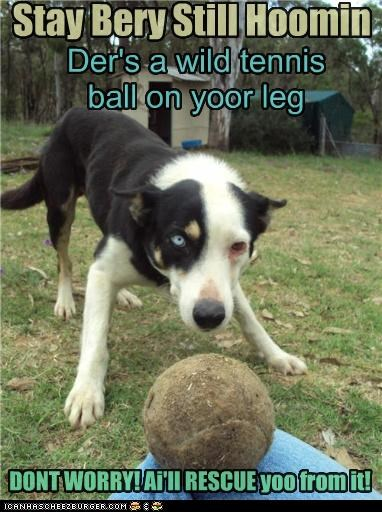 Stay Bery Still Hoomin Der's a wild tennis ball on yoor leg DONT WORRY! Ai'll RESCUE yoo from it!
