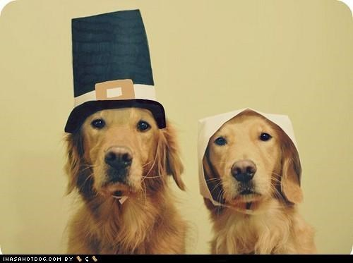 awesome,golden retriever,golden retrievers,hats,holiday,thanksgiving