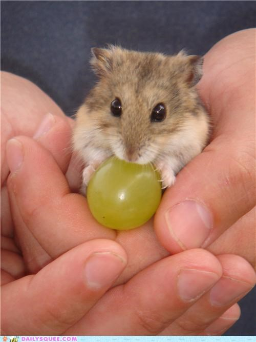 challenge,do want,dwarf hamster,grape,Hall of Fame,hamster,head,nomming,noms,pondering,proportion,reader squees,size,small