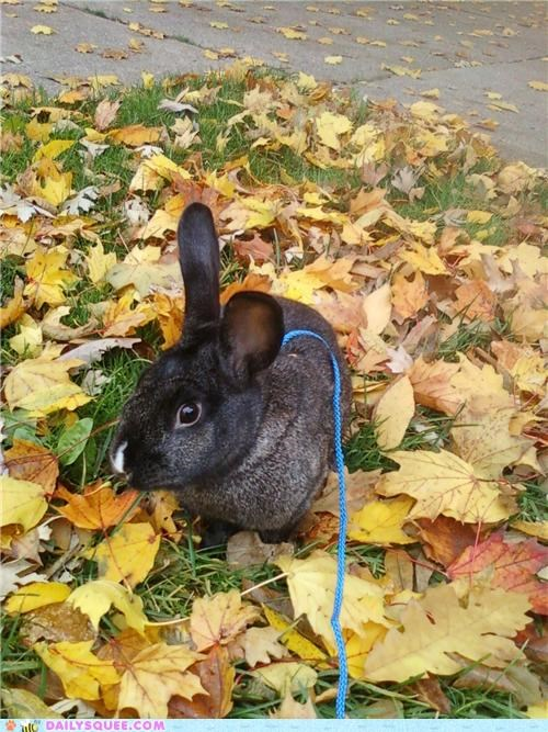 bunny happy bunday leaf leash leaves napping outside pile playing rabbit reader squees sleeping walk walking - 5412758528