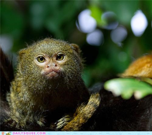 adorable baby FAIL futile grumpy intimidating Precious squee spree tamarin