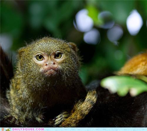 adorable baby FAIL futile grumpy intimidating Precious squee spree tamarin - 5412766720