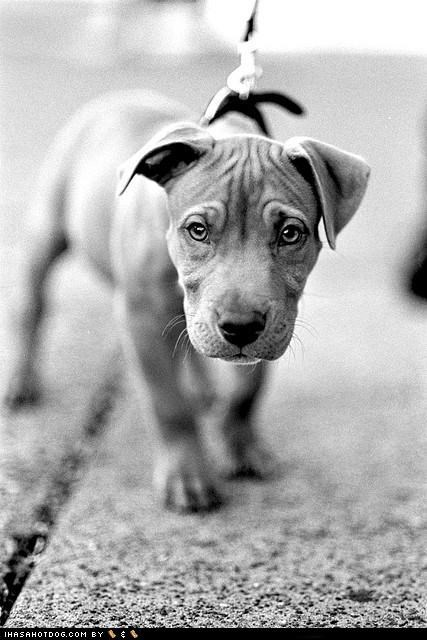 adorbz,cute,cyoot puppeh ob teh day,leash,pit bull,pitbull,puppy,walk