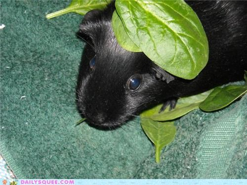 awesome name chilling eating empress guinea pig nomming noms reader squees relaxing spinach - 5414995712