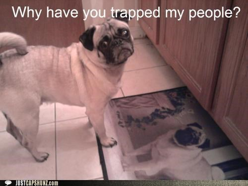 concerned,depressed,dogs,i has a hotdog,my people,pug,trapped,why have you trapped my people,wtf