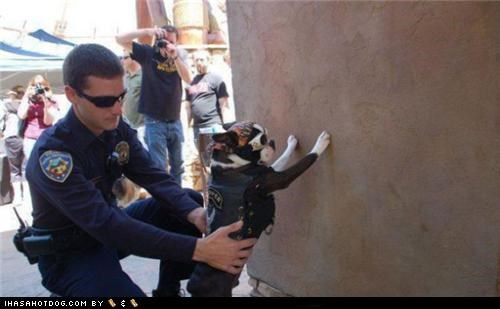 biker,boston terrier,i fought the law,i fought the law and the law won,law,police,under arrest
