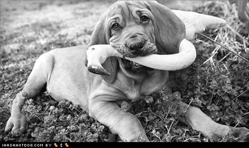 bloodhound,chew,chewing,cyoot puppeh ob teh day,flamigo,lawn flamingo,outdoors,puppy,redecorating