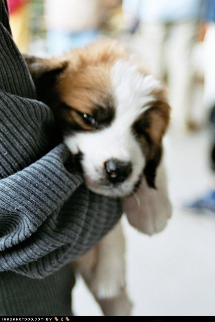 awww,being held,cyoot puppeh ob teh day,held,hold me,polish sheepdog,puppy,sweet face,tired