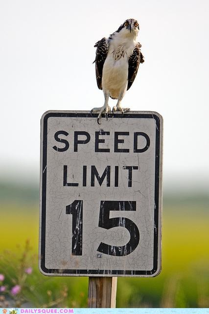 15,acting like animals,bird,flying,law enforcement,limit,osprey,radar,speed,speeding,ticket,ticketing,watching
