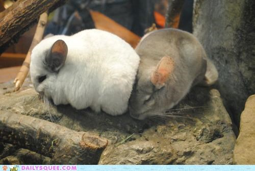 accident,adorable,chinchilla,chinchillas,collision,crash,cutest,Hall of Fame,oops,pileup