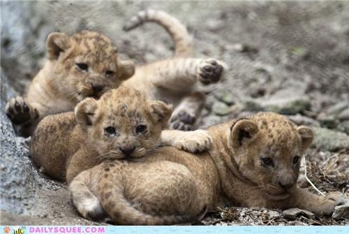 adorable Babies baby cub cubs excuse Hall of Fame lion lions lolwut mother rambling reason three threes tiny young