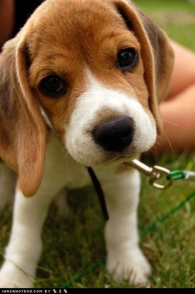 beagle,curious,cutie,grass,outside,puppy,what