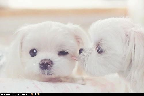KISS kisses love maltese puppies sweet - 5419855360