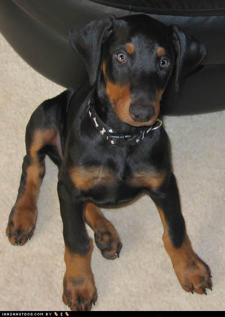 adorable cute cyoot puppeh ob teh day doberman pinscher puppy what - 5419860224