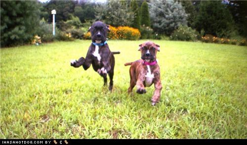 boxer boxers coming for you cyoot puppeh ob teh day puppy run running