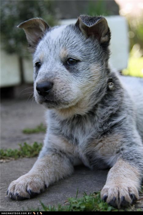 australian cattle dog,cyoot puppeh ob teh day