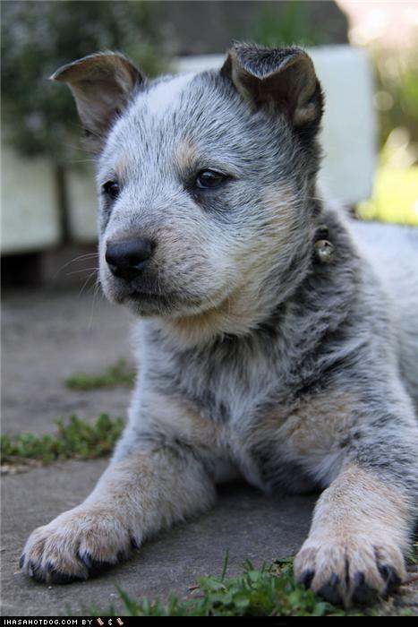 australian cattle dog cyoot puppeh ob teh day - 5419930112
