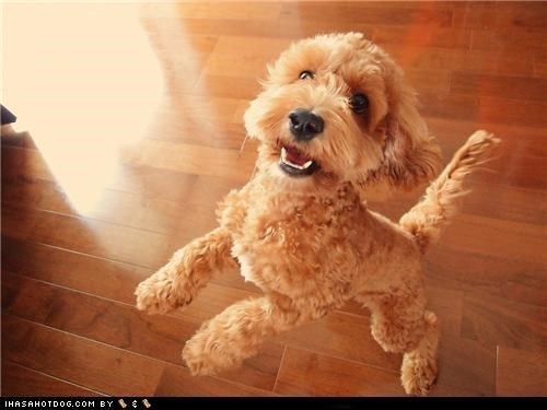 cyoot puppeh ob the day dance dancing happy dog hind legs labradoodle mixed breed puppy smile smiling standing up