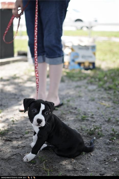 cyoot puppeh ob teh day,leash,nope,pit bull,pitbull,sit,sitting,walk,whatbreed