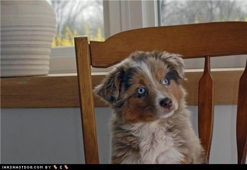 australian shepherd cyoot puppeh ob teh day huh lolwut puppy what - 5420027904