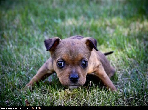 cyoot puppeh ob the day grass hunting outdoors play playing stalking target acquired whatbreed - 5420147712