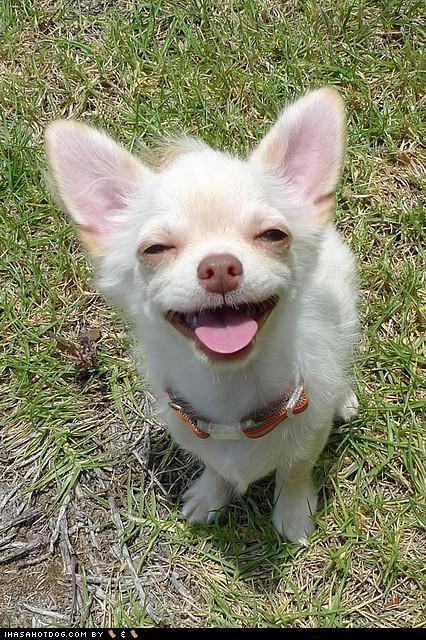 chihuahua cyoot puppeh ob teh day smile smiles smiling tongue tongue out - 5420155136