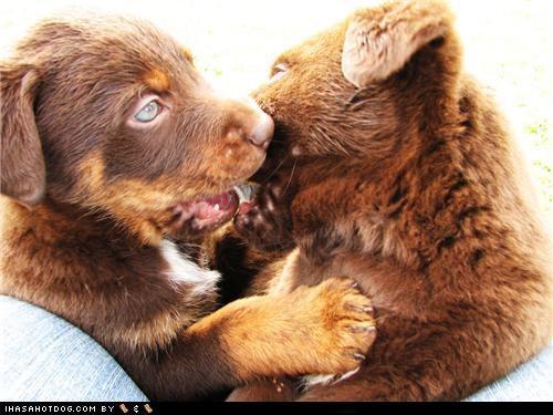 australian shepherd cyoot puppeh ob teh day kissing labrador retriever mixed breed puppies puppy - 5420169984