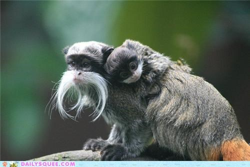 appearance,baby,Father,Hall of Fame,inherited,parent,parents,resemblance,squee spree,tamarin,tamarins,trait