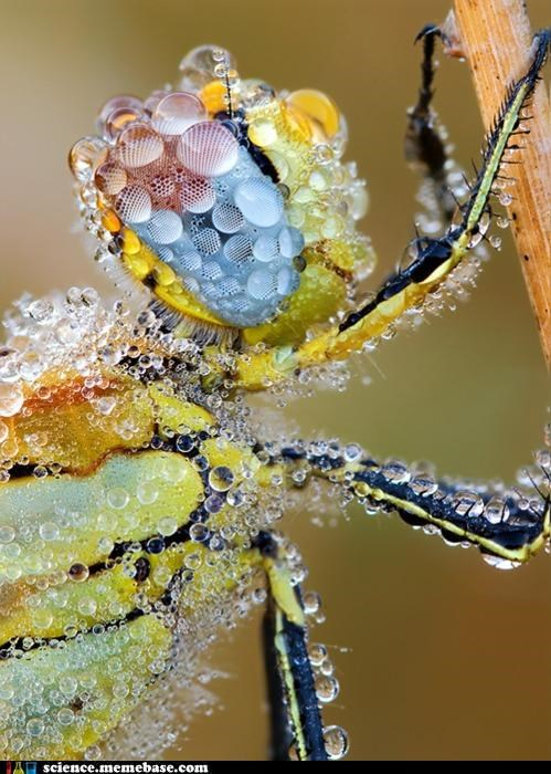 bug,dew,macro photography,red veined darter